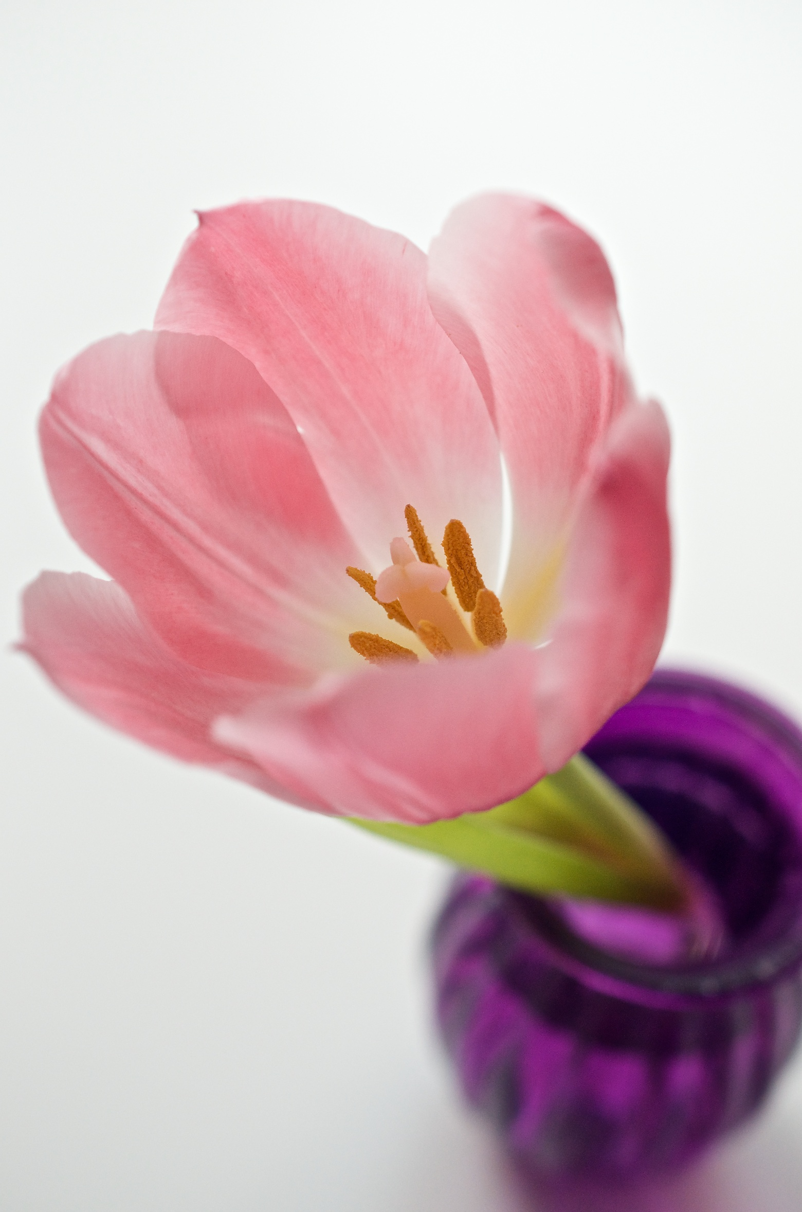 Foto der Woche, Tulpenliebe in Makro