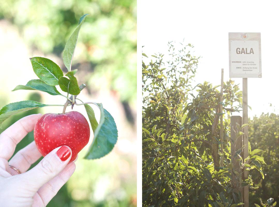 Äpfelpflücken-Herzapfelhof