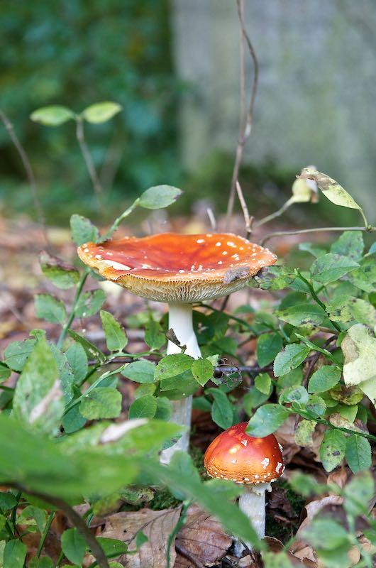 Fliegenpilze im Herbst