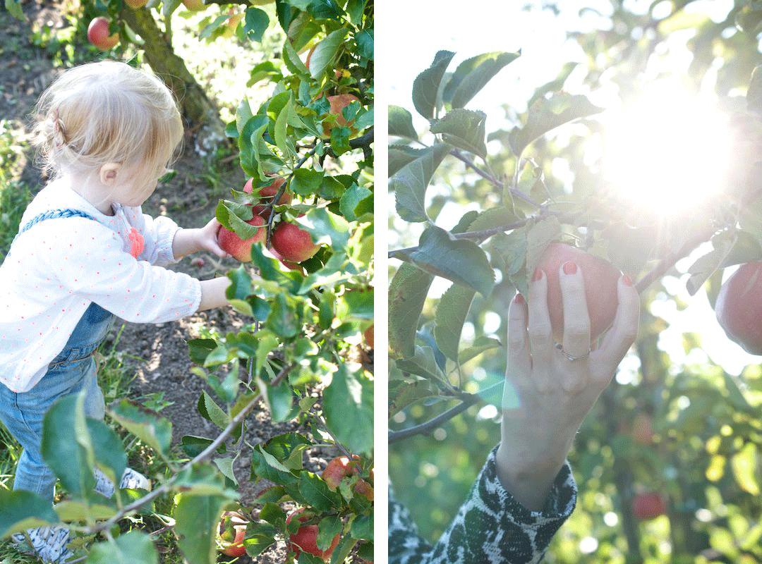 Herzapfelhof---Äpfel-pflücken