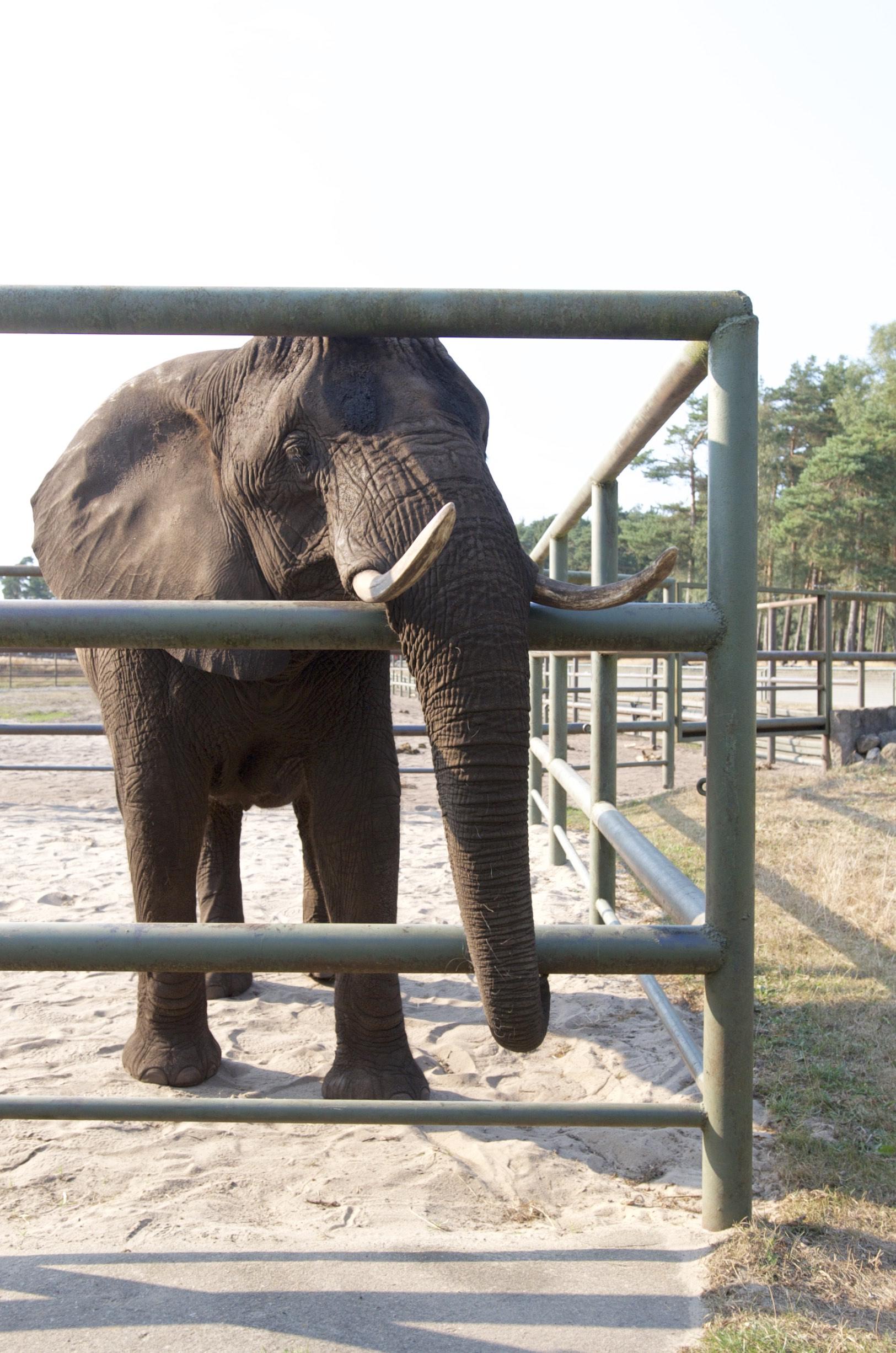 Elefanten im Serengeti Park Hodenhagen