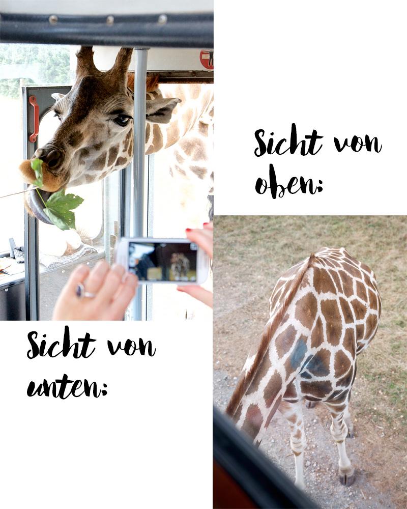 Giraffe im Serengeti Park Hodenhagen